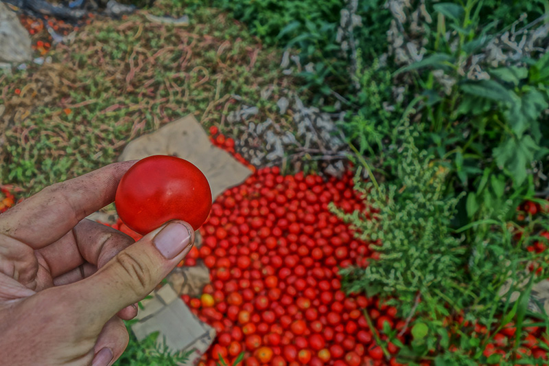 Ohne die Lebensmittelverschwendung wie hier im Falle der Tomaten, gäbe es keinen Hunger auf der Erde.