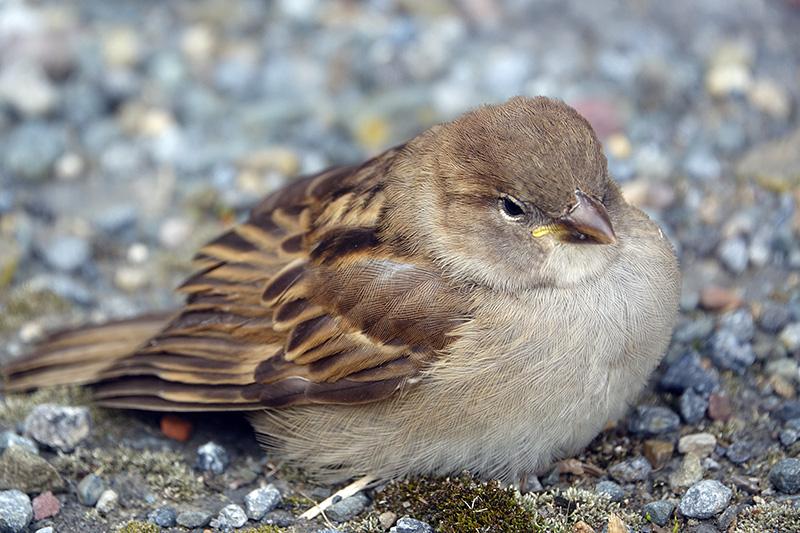 kleinr Singvogel auf Asphalt