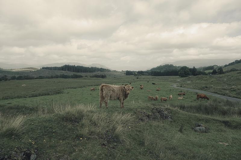 Stier in den Highlands