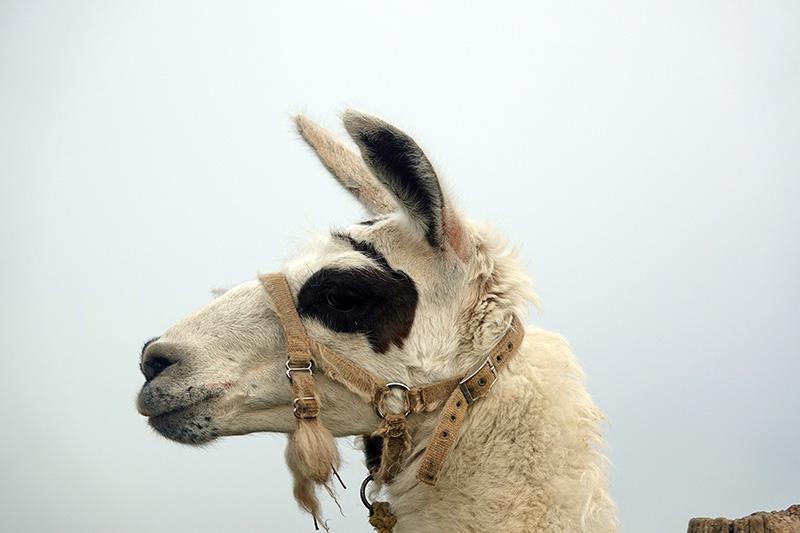Noch ein Lama