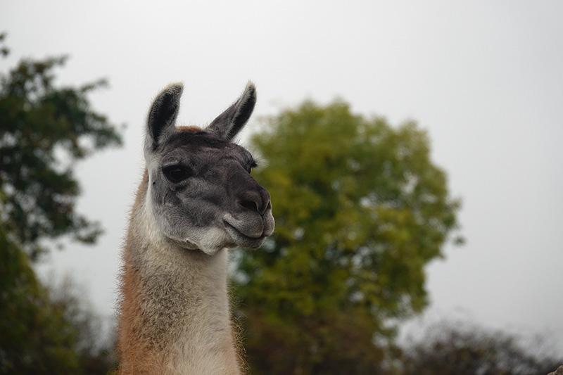Ein neugieriges Lama